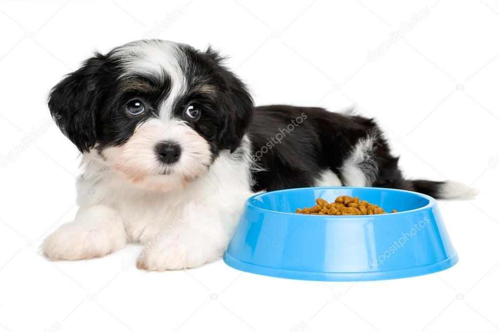 Cute Havanese Puppy Lying Next To A Blue Food Bowl Stock Photo