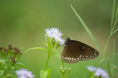 Euploea core, the common crow, is a common butterfly found in South Asia to Australia. In India it is also sometimes referred  to as the common Indian crow, and in Australia as the Australian crow.