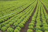 Ültetvény saláta
