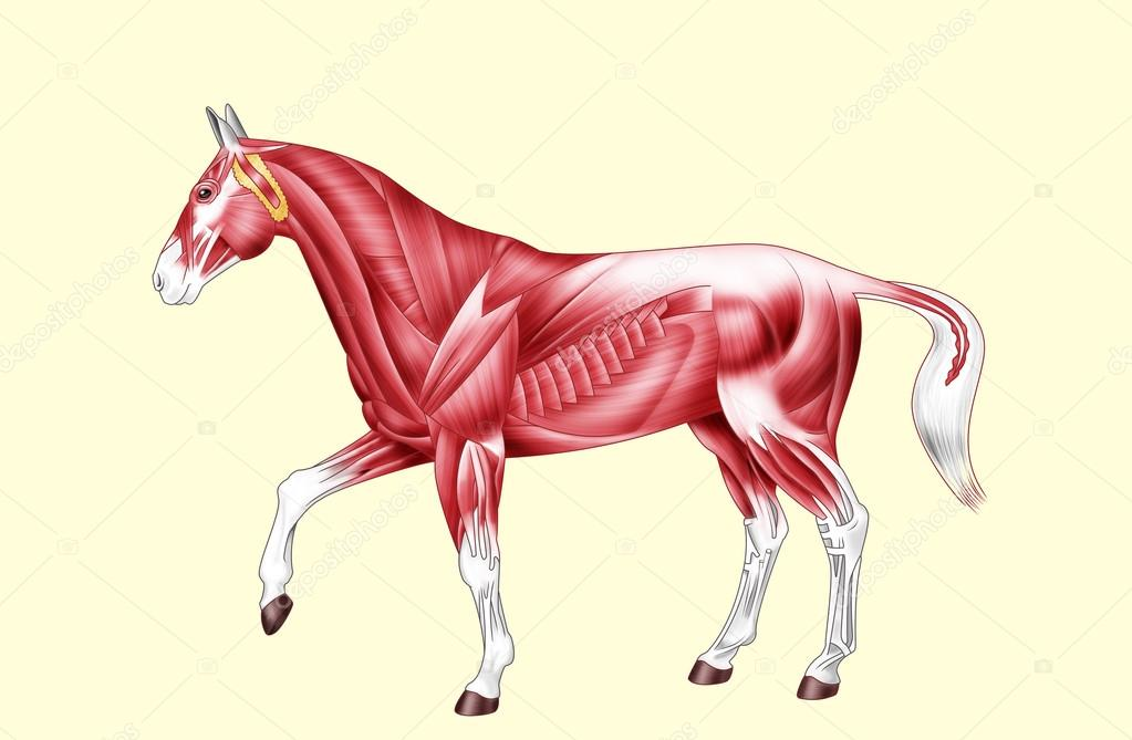 Horse anatomy - Muscles - No text — Stock Photo © willierossin #86858638