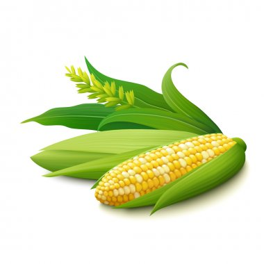 Cobs of yellow colourful Indian corn on white background
