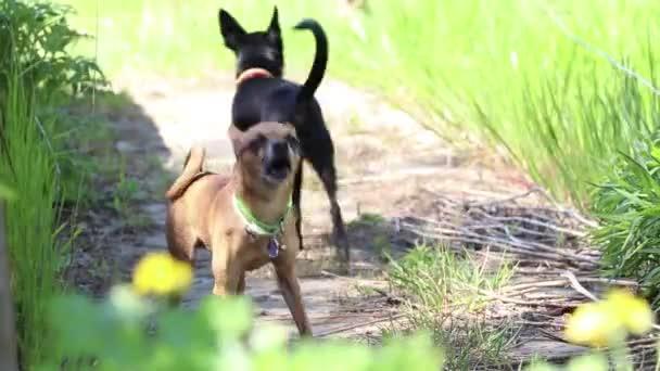 két csivava kutya ugat a parkban nyáron a napon.