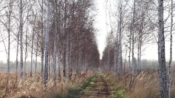 birch háj na Ukrajině v Dněpru v prosinci za slunečného dne