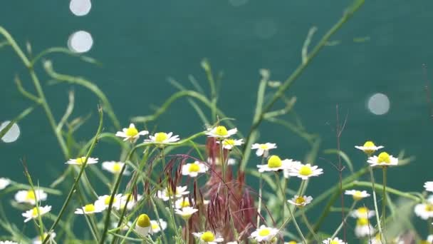 polní sedmikrásky na poli na jaře na Ukrajině, volně rostoucí květiny, květinové pozadí