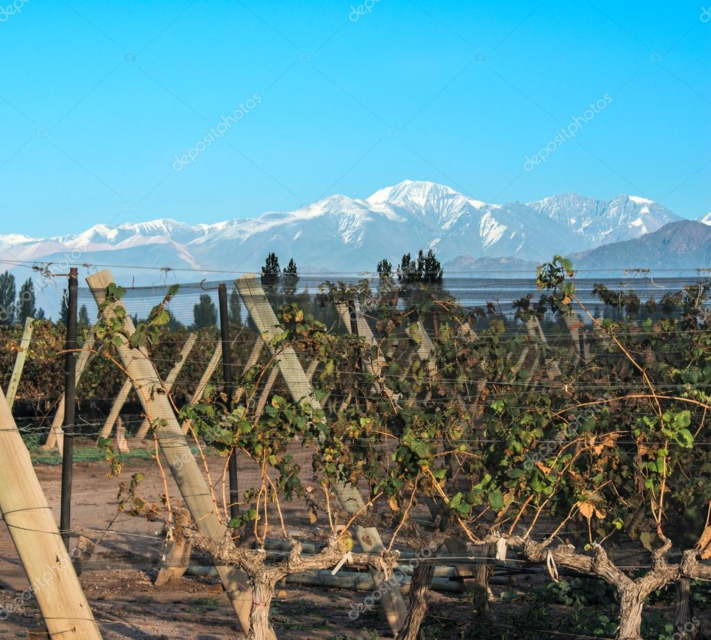Vineyard in Maipu, Argentine province of Mendoza