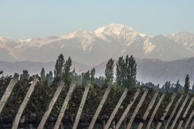 Early morning in the vineyards in Maipu, Argentine province of Mendoza