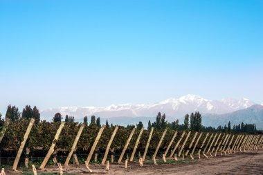 Early morning in the vineyards. Volcano Aconcagua Cordillera