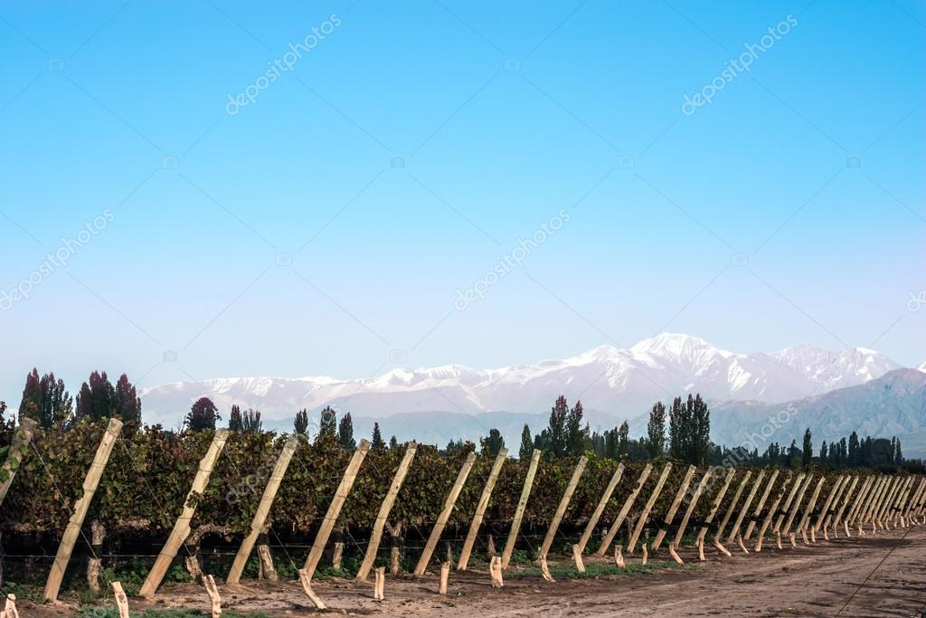 Early morning in the vineyards. Volcano Aconcagua Cordillera