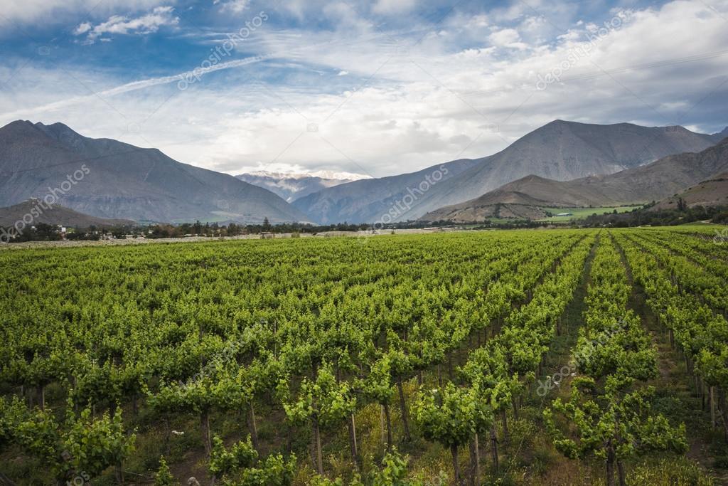 Spring Vineyard,  Elqui Valley, Andes,  Atacama, Chile