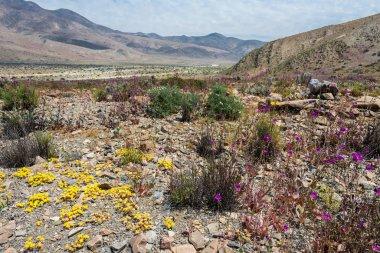Flowering desert in the Chilean Atacama Desert