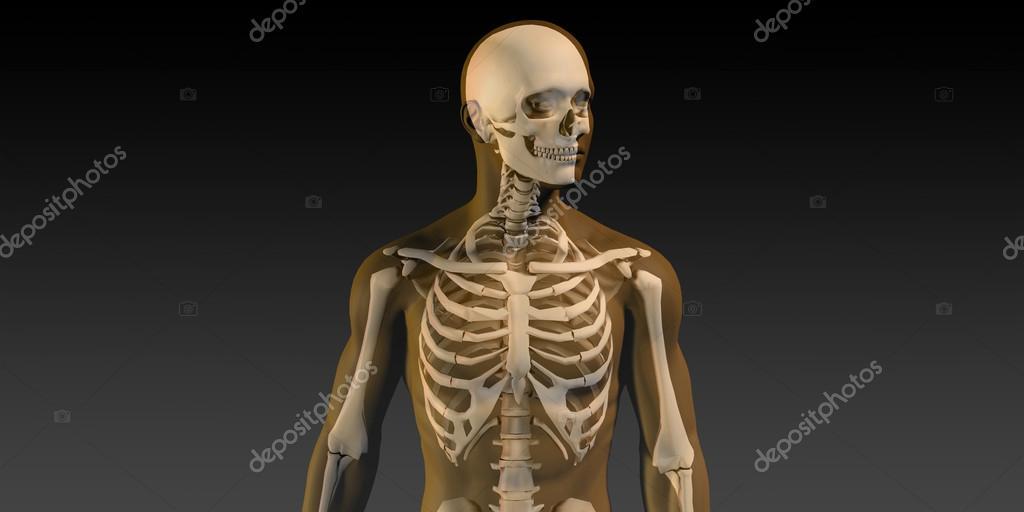 Menschliche Anatomie mit sichtbaren Skelett und Muskeln — Stockfoto ...