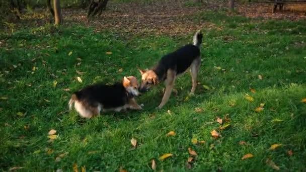 Streunende Hunde kämpfen an einem Herbsttag im Park um eine Socke im grünen Gras. Hungrige Tiere.