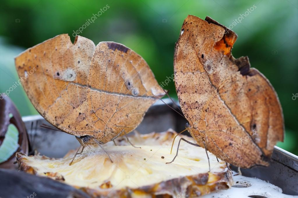 Two oak leaf butterflies on a slice of pineapple