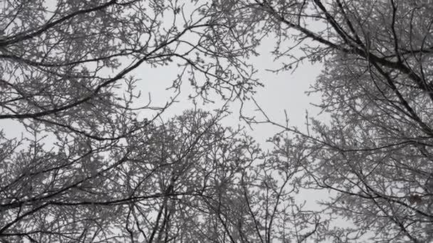 Blick von unten auf schneebedeckte Bäume.