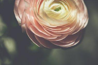 tender pink ranunculus flower