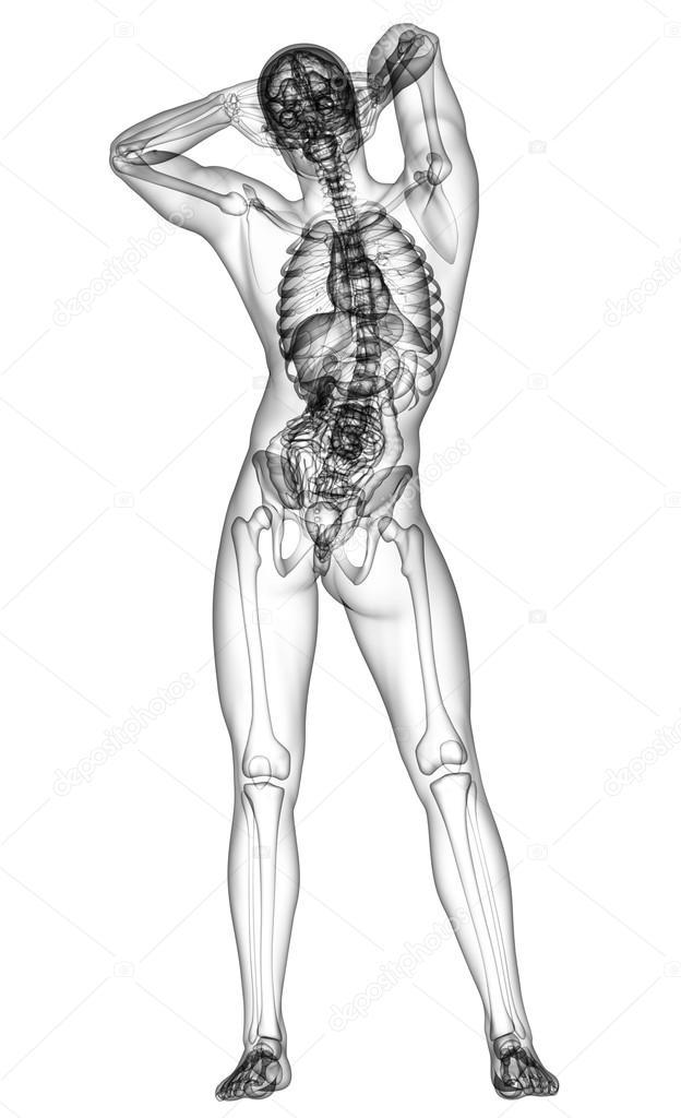 3D render de ilustración médica de la anatomía humana — Foto de ...