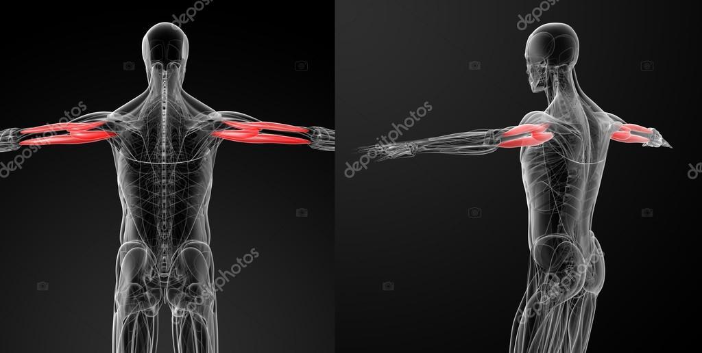 Medizinische Illustration Des Triceps Brachii Stockfoto Maya2008