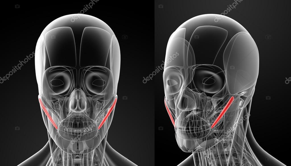 Ilustración Médica del cigomático mayor — Fotos de Stock © maya2008 ...