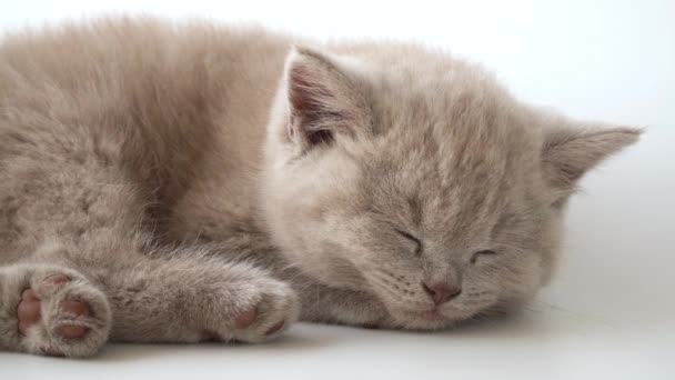 Purebred British shorthair cat. cat smoky colour. Cute little kitten is lying and sleeping. 08 August World Cat Day. kitten is sleeping the sweet sleep