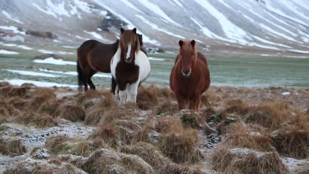 Tři Islandští koně