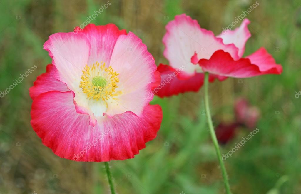 Pink-white poppy flower — Stock Photo © kojoty #91760182
