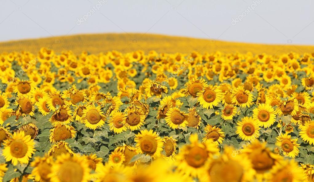 paesaggio con girasoli — Foto Stock © kojoty #98468156