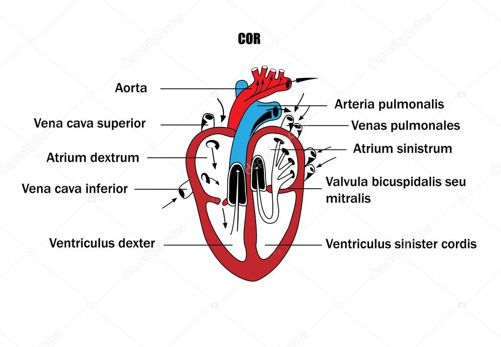 A Schematic Representation Of The Internal Organs The Anatomy Of