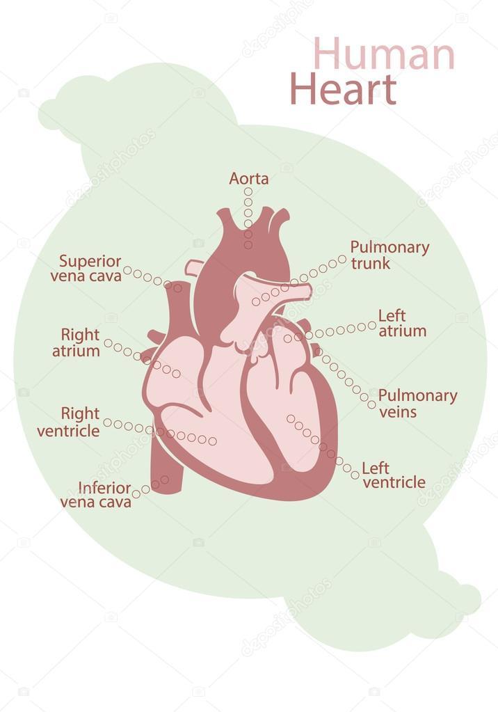 Diagrama del corazón humano — Archivo Imágenes Vectoriales ...
