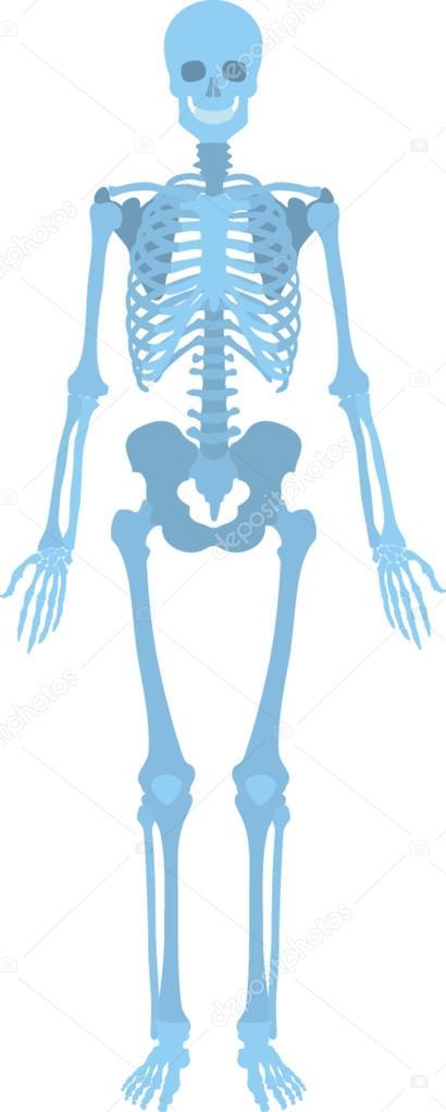 Wie menschliche Skelett aussehen — Stockvektor © photographee.eu ...