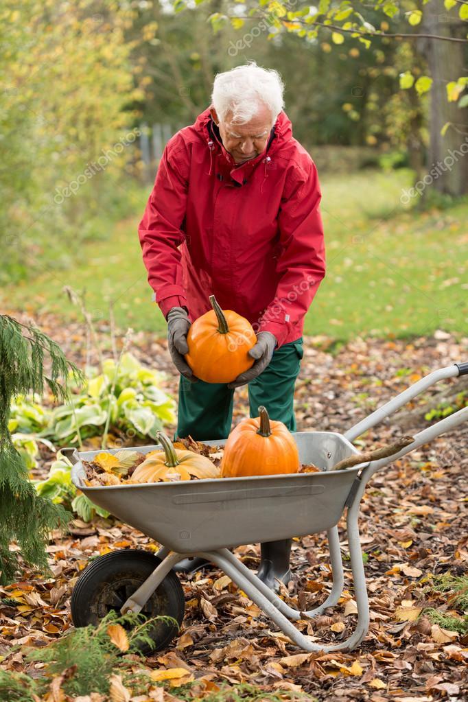 Man harvesting pumpkins in a garden