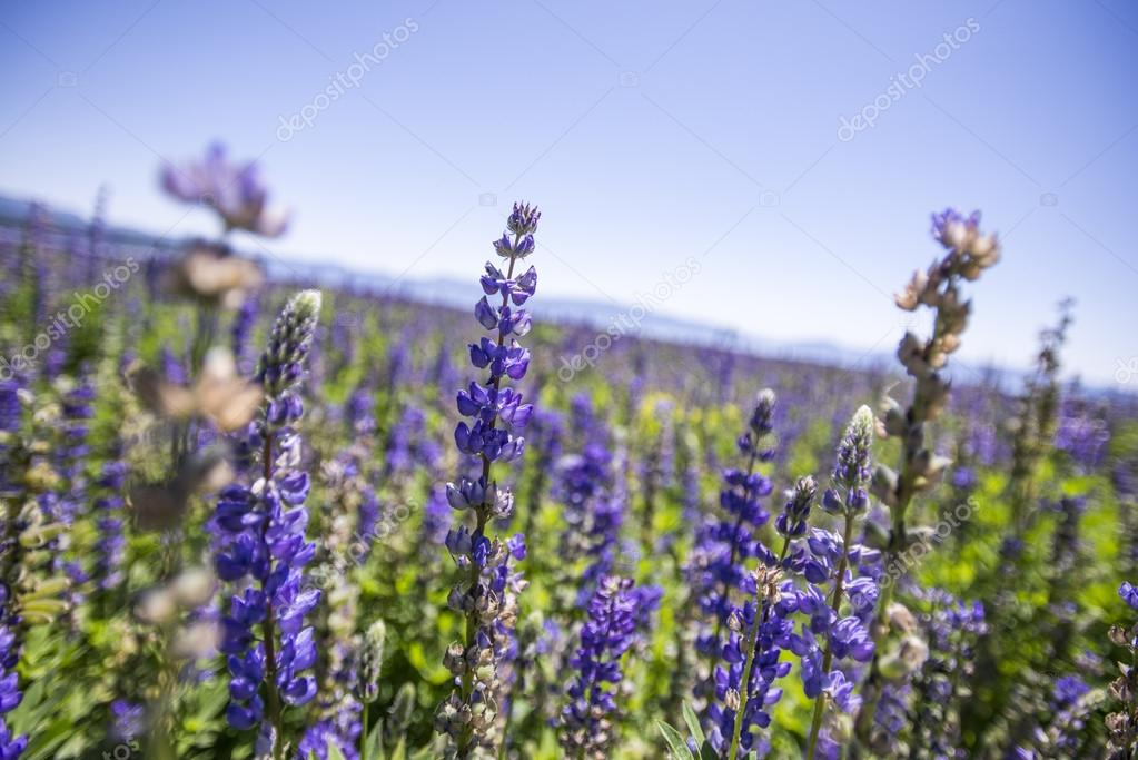 Lupine Flowers on the Waterfront in Lake Tahoe