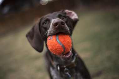 German Short-haired Pointer Playing