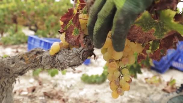Detailní záběr zemědělců ručně v rukavicích pískání bílých hroznů na vinném poli během sklizně ve Španělsku