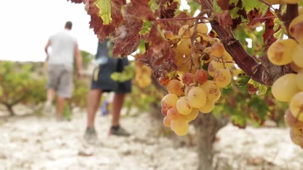 Dva zemědělci při sklizni bílých hroznů na vinném poli ve Španělsku