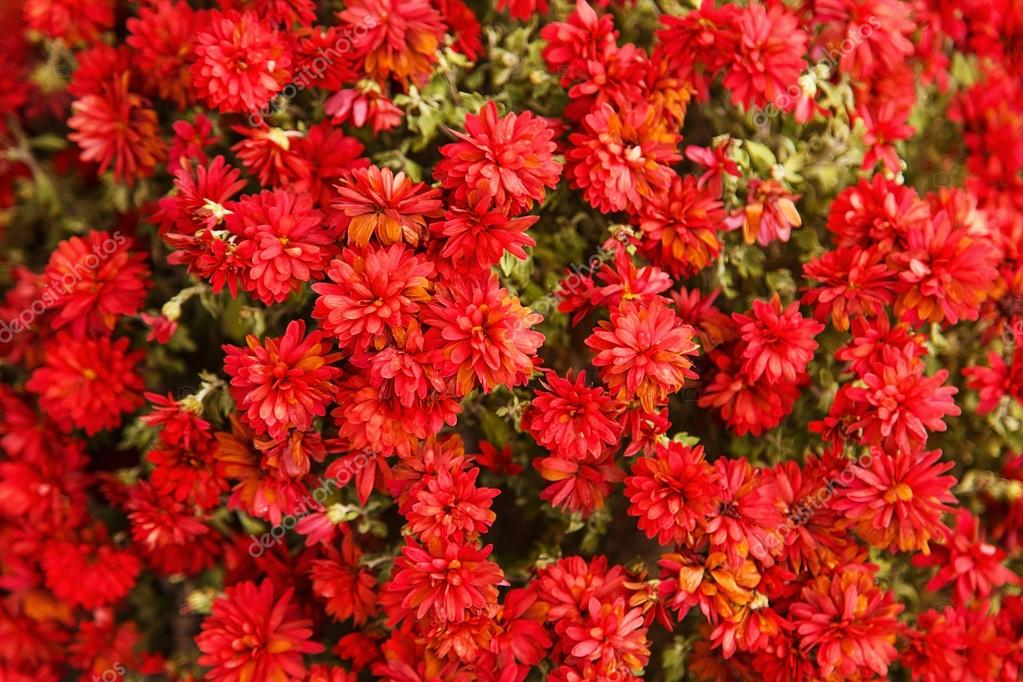 Background from a lot of flowers of red chrysanthemums