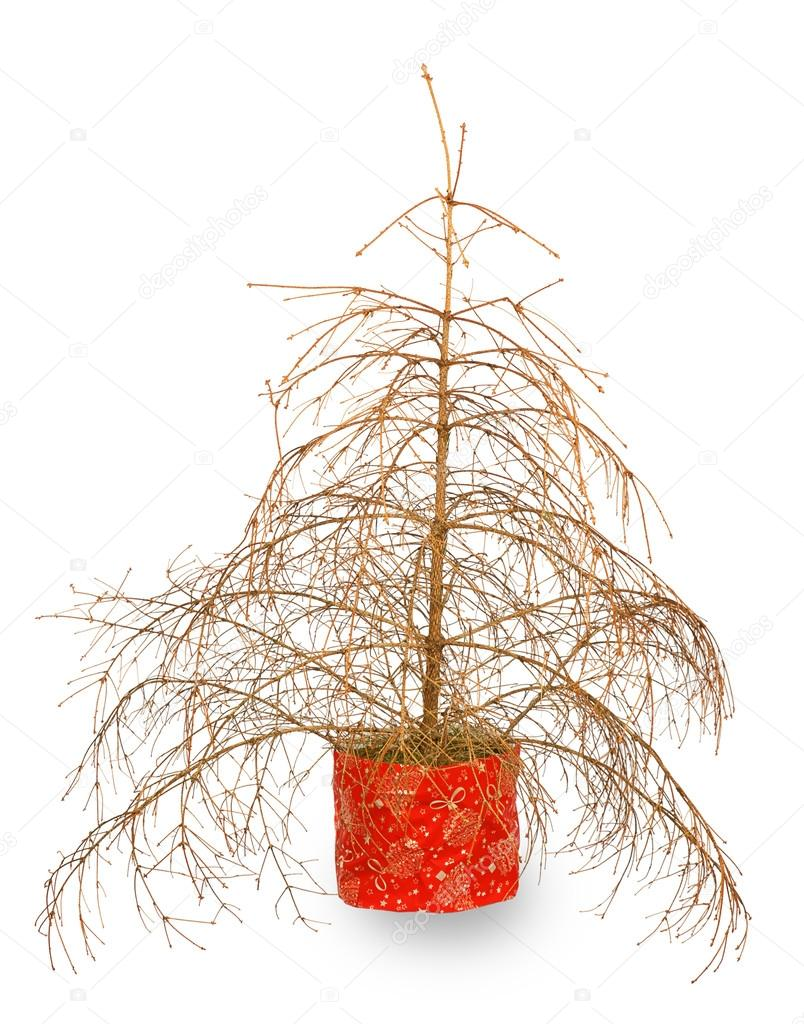 Vertrockneter Tannenbaum