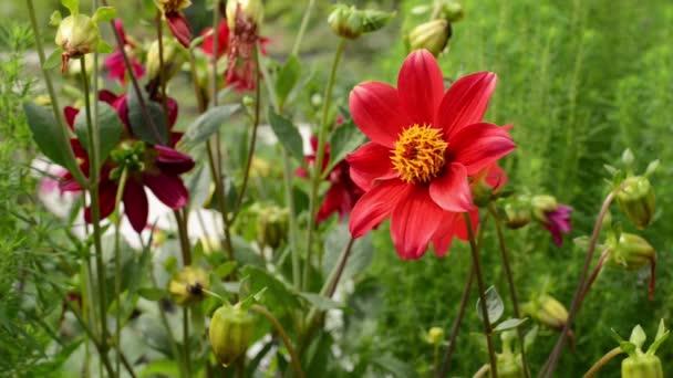 Margherita rossa nellaiuola. Piretro. Il giardino frontale.
