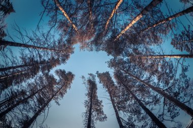 Russian high pine tops of branches, a look from below. The sky is blue, the branches are round and trunks