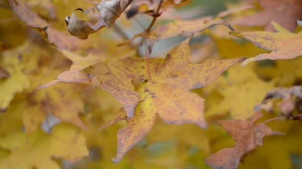 autumn leaves of maple.