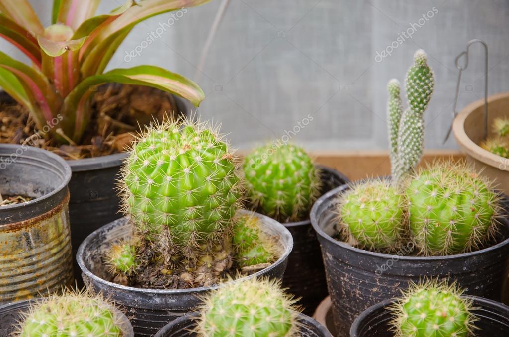 Pequenos diferentes tipos de cactos fotografias de stock for Clases de cactus