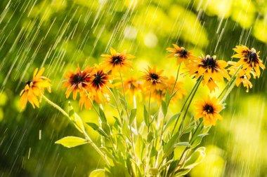 Summer rain and flowers of echinacea