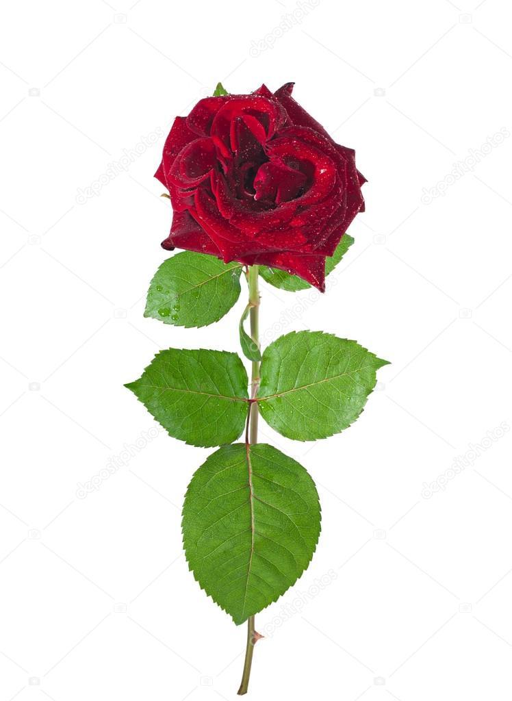 Belle rose rouge avec tige sur un blanc photographie - Rose avec tige ...