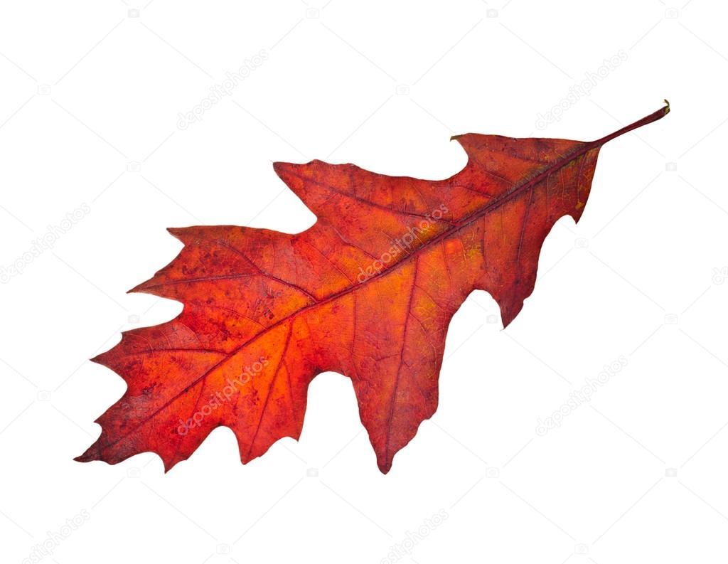 feuille d'automne rouge arbre de chêne (quercus rubra) isolé sur