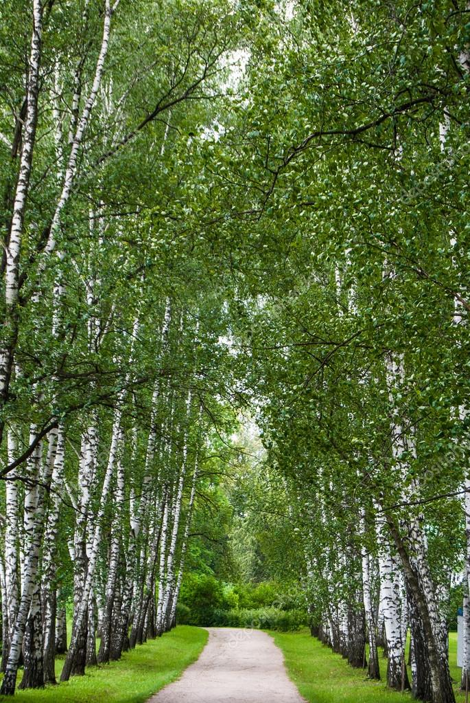 Birch trunks in the park.