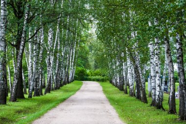Birch trunks in the park.