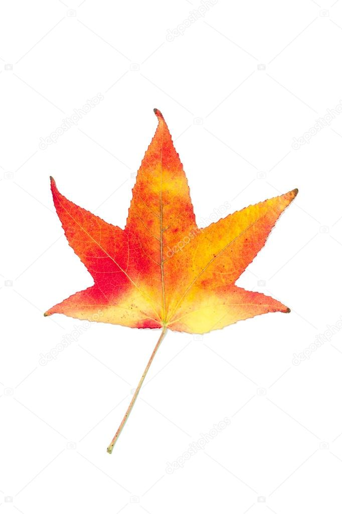 Autumnal colour change in a maple leaf