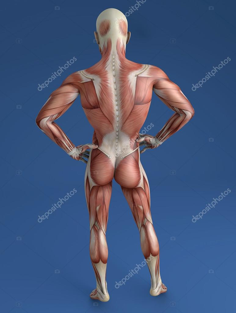 back muscles corps humain