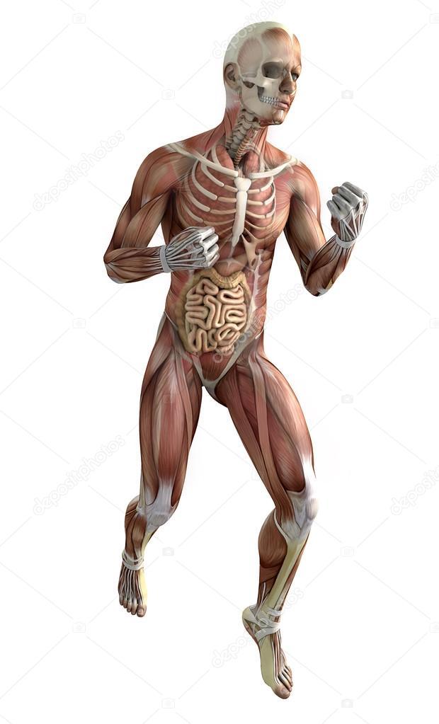 Boxeador, sistema muscular — Foto de stock © vampy1 #115755470