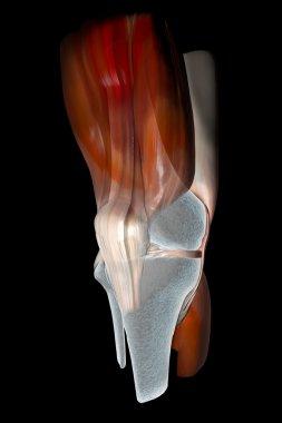 Knee ligaments, tendons, bones