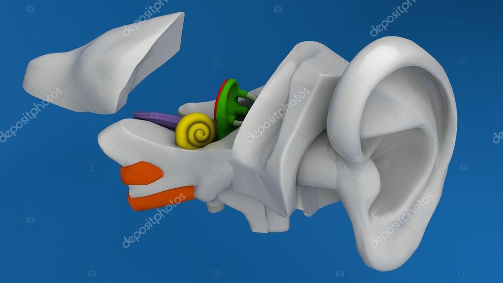 menschliche Ohr-Anatomie — Stockfoto © vampy1 #65109693